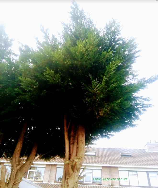 Coniferen met kale stam